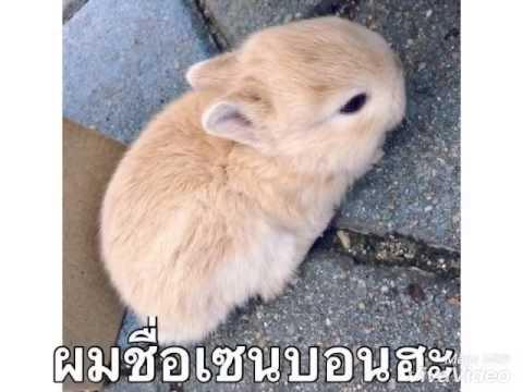 Senbon กระต่ายแคระน้อย