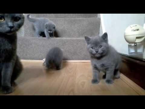 British Shorthair Blue Kittens - 6 weeks