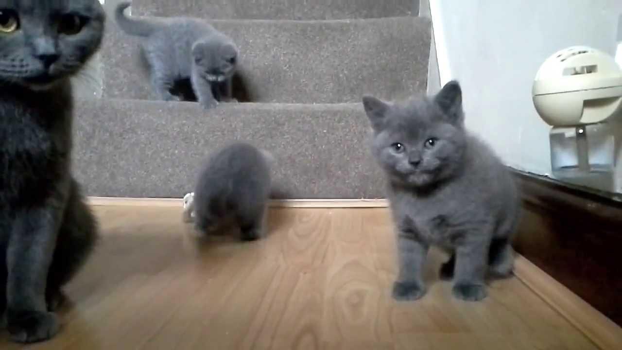 British Shorthair Blue Kittens 6 weeks