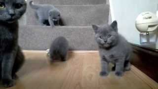 British Shorthair Blue Kittens - 6 weeks