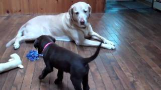 CHOCOLATE LAB MEETS YELLOW LAB!