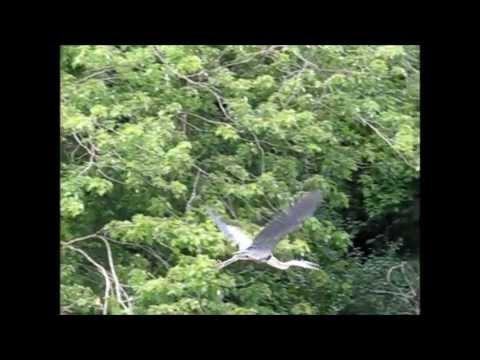 Fishing Line Entangles Great Blue Heron