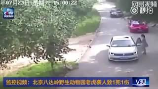 Сибирский тигр убил посетительницу сафари-парка в Китае-Tiger attacks and kills woman park in China