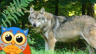 Учим лесных животных - Развивающее видео для детей - Крошка Совеныш