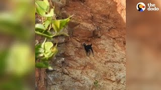 Goat Stuck On High Cliff Gets Saved Just In Time | The Dodo