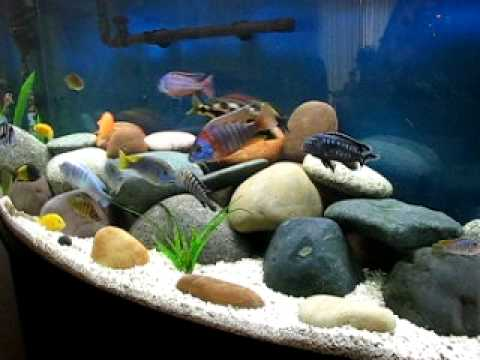 nice african cichlid aquarium malawi tanganyikan frontosa tropheus red empress youtube. Black Bedroom Furniture Sets. Home Design Ideas