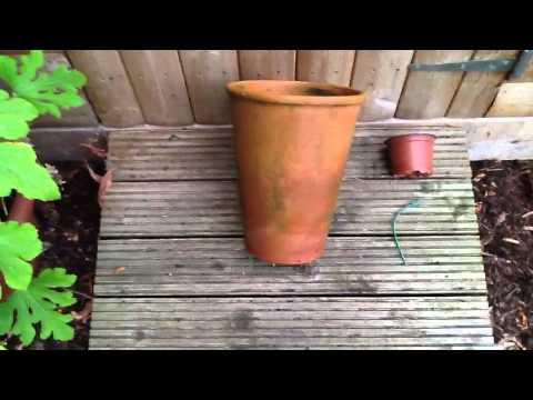 how to grow sunfglowesr in pots