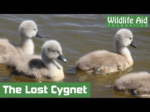 Stranded cygnet washed away down a weir