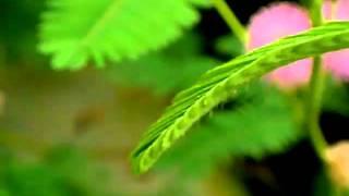 paraziták mimosa pudica pudra