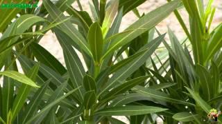 Bamb piante in vaso viyoutube for Oleandro riproduzione