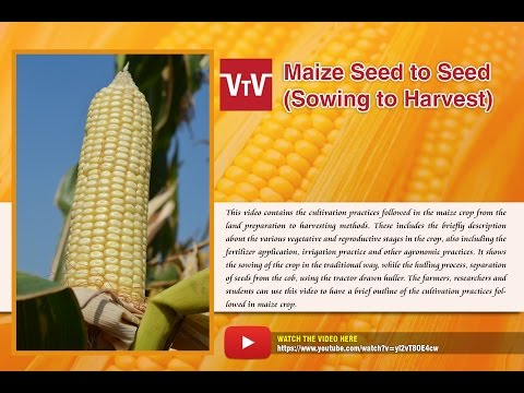 maize seed to seed (sowing to harvest)