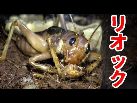 リオックがゴキブリを捕食する瞬間! Siaferox predation cockroach