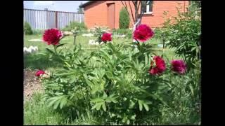 Непревзойденные пионы в дизайне сада(Многолетники формируют основу сада. Эта миссия возложена и на пионы. Пионы цветут в конце весны и в это..., 2015-02-26T13:47:17.000Z)