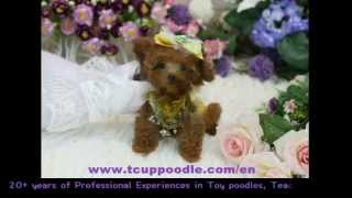 Super Tiny Teacup  Small Teacup Poodle #368