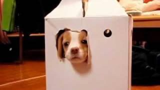 生後4ヵ月のやんちゃなビーグル(レモンちゃん)が箱から可愛く脱出。