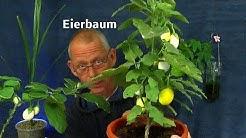 Eierbaum Früchte reifen von weiß zu gelb. Jackfruit Samen keimen. Die exotischen Pflanzen