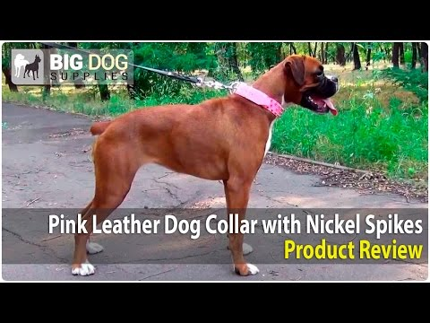 Boxer, Neapolitan Mastiff and American Bulldog Wearing Pink Spiked Dog Collar