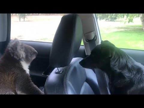 Sharon Green - Koala Invades Car To Escape The Heat!