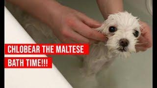 Chlobear the Maltese Takes a Bath