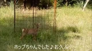 シカのホップちゃん  Sika deer 5,795KB