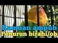 Cara Cepat Menurunkan Over Birahi Pada Burung Lovebird  Mp3 - Mp4 Download