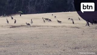 Controlling Kangaroo Populations - Behind the News