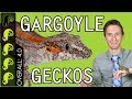 Gargoyle Gecko, The Best Pet Reptile?
