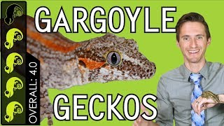 Gargoyle Gecko, The Best Pet Reptile?