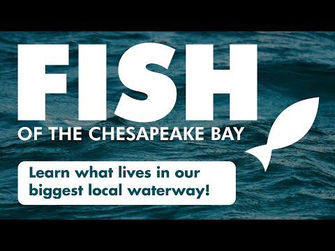 Fish Of The Chesapeake Bay