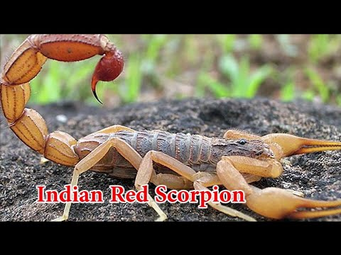 Discovery Science | Most dangerous scorpion in world | animal planet | HD Documentary