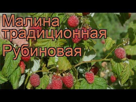 Малина традиционная Рубиновая (rubus) 🌿 малина Рубиновая обзор: как сажать саженцы малины Рубиновая