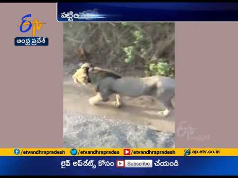 Watch | Two lions passing through the road at Amreli
