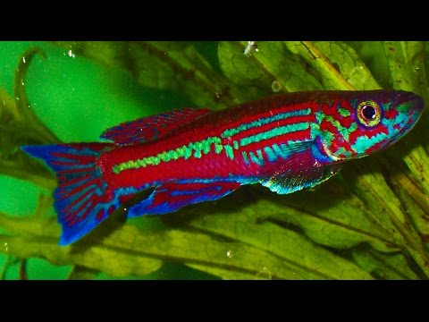 Killifish EXPO - Show And Contest ᴴᴰ
