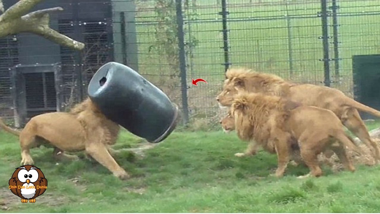 Kepala Singa ini Terjepit di Tong, Lari ke Sana sini karna Panik !!