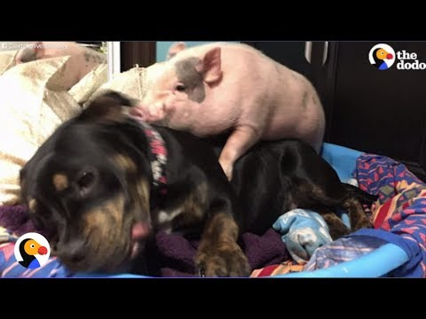 Pig, Dog Can't Stop Cuddling   The Dodo