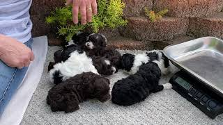 Ginger's Schnoodle puppies almost 3 weeks old May 31, 2021