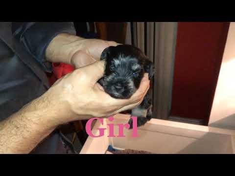 Miniature Schnauzer Puppies by Reberstein's