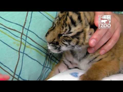 Tiger Cub Gets Help from Chiropractor - Cincinnati Zoo
