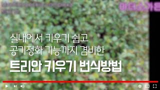 #공기정화 트리안키우기…