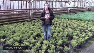Можжевельник горизонтальный Лайм Глоу  / Можжевельник посадка и уход / хвойные растения