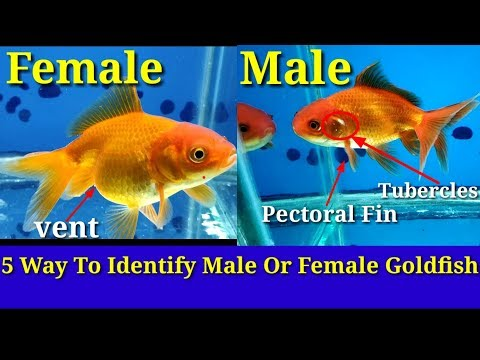 5 Way To Identify Male Or Female Goldfish