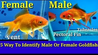 5 Way To Identify Male Or Female Goldfish