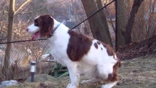 English Springer Spaniel: Maessr Presents Sadie 13