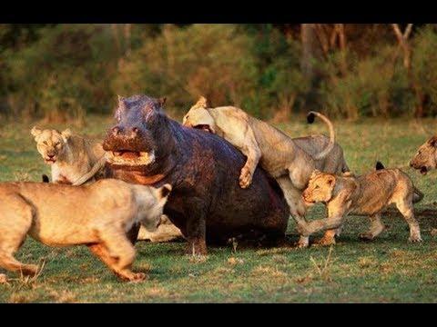 강력한 사자 vs