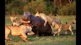 강력한 사자 vs 하마 전투! Hippo vs Lion!