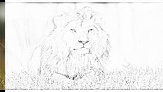 Auto Draw 2: African Lion, Masai Mara National Reserve, Kenya