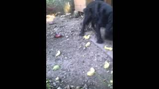 Собака не ест мясо, а только овощи.(Собака не ест мясо, а только овощи., 2015-08-31T14:59:19.000Z)