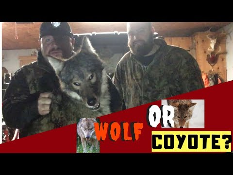 Coyote Hunt At Night   Thermal Vs Nightvision