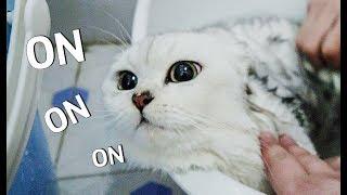 【花花与三猫】猫咪用生命反抗洗澡,气到脸变形,你已经失去本宝宝了