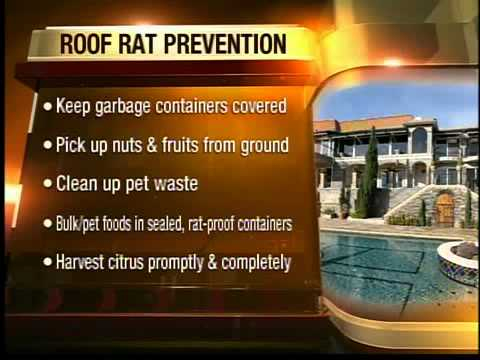 Roof Rats Causing Problems From Arizona Residents